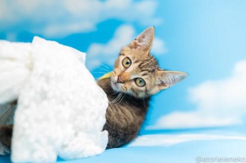 アトリエイエネコ Cat Photographer 43803643962_e2b01554aa 1日1猫!おおさかねこ俱楽部 里活中のさだおくんです♪ 1日1猫!  里親様募集中 猫写真 猫カフェ 猫 子猫 大阪 初心者 写真 保護猫カフェ 保護猫 ニャンとぴあ スマホ キジ猫 カメラ おおさかねこ倶楽部 Kitten Cute cat