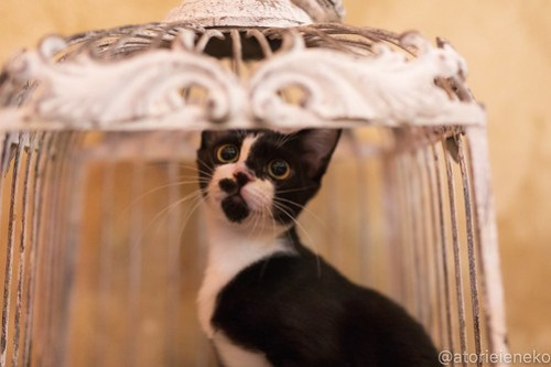 アトリエイエネコ Cat Photographer 43855015991_96949bcb29 1日1猫!保護猫カフェウリエルへ行ってきた(1/2)♪ 1日1猫!  里親様募集中 猫写真 猫カフェ 猫 大阪 初心者 写真 保護猫カフェウリエル 保護猫カフェ 保護猫 中崎町 スマホ カメラ ウリエル Kitten Cute cat