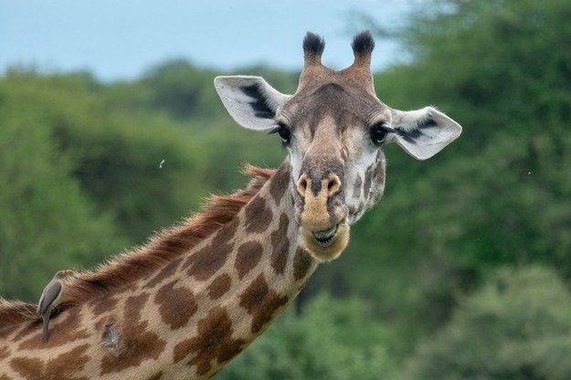 Twiga, the apt Swahili word for giraffe