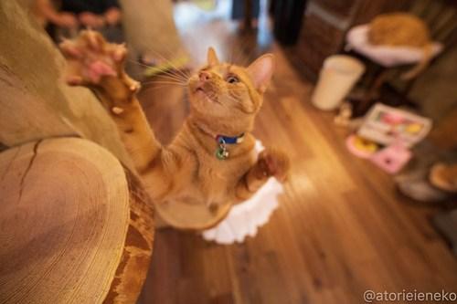 アトリエイエネコ Cat Photographer 42951377375_ea54368b63 1日1猫!保護猫カフェウリエルへ行ってきた(1/2)♪ 1日1猫!  里親様募集中 猫写真 猫カフェ 猫 大阪 初心者 写真 保護猫カフェウリエル 保護猫カフェ 保護猫 中崎町 スマホ カメラ ウリエル Kitten Cute cat