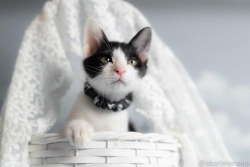 アトリエイエネコ Cat Photographer 43134393174_f2c4dc3769 1日1猫!おおさかねこ俱楽部 里活中のマーチくんです♪ 1日1猫!  里親様募集中 猫写真 猫カフェ 猫 子猫 大阪 初心者 写真 保護猫カフェ 保護猫 ハチワレ ニャンとぴあ スマホ カメラ おおさかねこ倶楽部 Kitten Cute cat