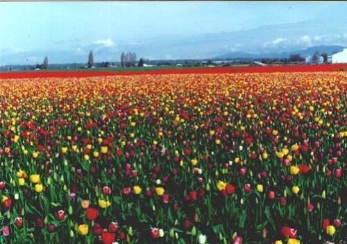 tulip3a