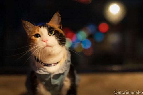 アトリエイエネコ Cat Photographer 43137666104_9f19b46f84 1日1猫!保護猫カフェウリエルへ行ってきた(1/2)♪ 1日1猫!  里親様募集中 猫写真 猫カフェ 猫 大阪 初心者 写真 保護猫カフェウリエル 保護猫カフェ 保護猫 中崎町 スマホ カメラ ウリエル Kitten Cute cat