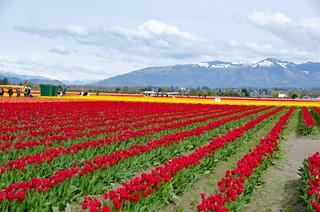 Roozengaarde Tulips-093