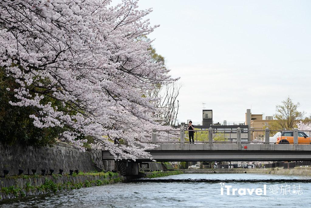 京都赏樱景点 冈崎疏水道 (15)
