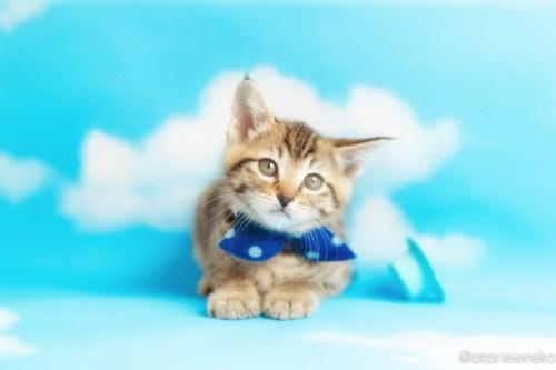 アトリエイエネコ Cat Photographer 41824841852_0f0544a98c 1日1猫!おおさかねこ倶楽部 里親様募集中のはたくん&タイくん&カツオくん♪ 1日1猫!  里親様募集中 猫写真 猫カフェ 猫 子猫 大阪 初心者 写真 保護猫カフェ 保護猫 ニャンとぴあ カメラ おおさかねこ倶楽部 Kitten Cute cat