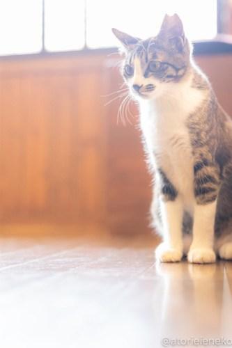 アトリエイエネコ Cat Photographer 26560004307_465087ba81 1日1猫!CaraCatCafe 幸せになるみつこちゃん♪ 1日1猫!  箕面 猫写真 猫カフェ 猫 子猫 大阪 初心者 写真 保護猫カフェ 保護猫 Kitten Cute cat caracatcafe