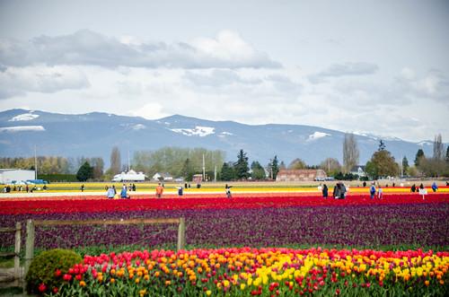 Roozengaarde Tulips-071