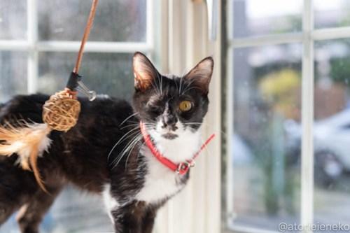 アトリエイエネコ Cat Photographer 41583671132_2e26e3672b 1日1猫!高槻ねこのおうち 里親様募集中のクロコちゃん♪ 1日1猫!  高槻ねこのおうち 里親様募集中 猫写真 猫 子猫 大阪 初心者 写真 保護猫 ハチワレ スマホ カメラ Kitten Cute cat