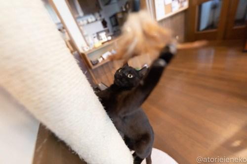 アトリエイエネコ Cat Photographer 26560002387_fd2cc09cb5 1日1猫!CaraCatCafe 里親様募集中のレイラちゃん♪ 1日1猫!  黒猫 里親様募集中 箕面 猫写真 猫 子猫 大阪 初心者 写真 保護猫カフェ 保護猫 スマホ カメラ Kitten Cute cat caracatcafe