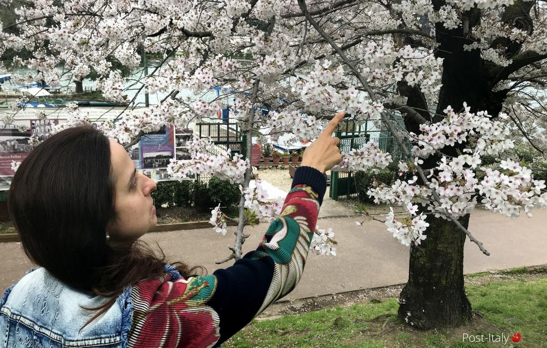 Cerejeiras em flor - Bairro EUR em Roma
