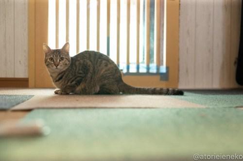 アトリエイエネコ Cat Photographer 26743270207_44761dcd0c 1日1猫!小さな猫カフェ「ペルちゃん」に行ってきた その1♪ 1日1猫!  里親様募集中 猫写真 猫カフェ 猫 守口市 子猫 大阪 写真 保護猫カフェ 保護猫 ペルちゃん スマホ カメラ Kitten Cute cat