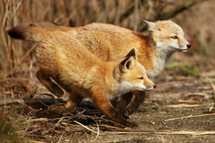 Running Red Fox Kits – Anticipation Gets the Shot