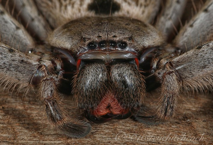 Grey Huntsman Spider - Holconia immanis