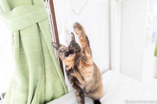 アトリエイエネコ Cat Photographer 39660155080_d16279d4b6 1日1猫!保護猫カフェねこんチ 実はオモチャ大好きみいちゃん! 1日1猫!  里親様募集中 猫写真 猫カフェ 猫 子猫 大阪 写真 保護猫カフェねこんチ 保護猫カフェ 保護猫 スマホ サビ猫 カメラ Kitten Cute cat