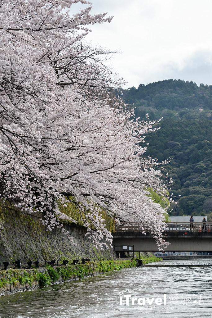 京都赏樱景点 冈崎疏水道 (13)