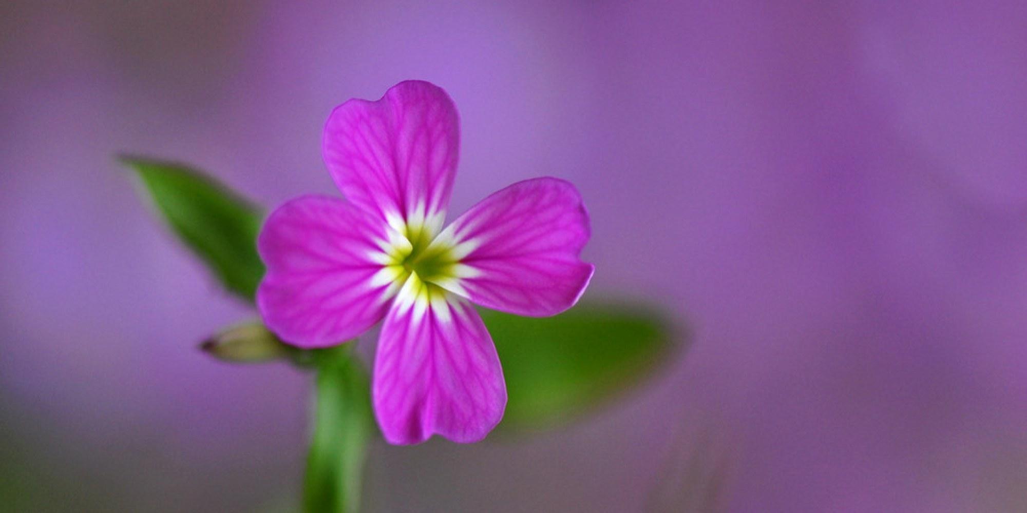 Wild flower Virginia Stock (Malcolmia Maritima)