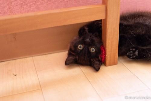 アトリエイエネコ Cat Photographer 27974369127_7b3e8d2d12 1日1猫!おおさかねこ倶楽部 コロンお嫁に行きます♪ 1日1猫!  黒猫 里親様募集中 猫写真 猫カフェ 猫 子猫 大阪 初心者 写真 保護猫カフェ 保護猫 ニャンとぴあ スマホ カメラ おおさかねこ倶楽部 Kitten Cute cat