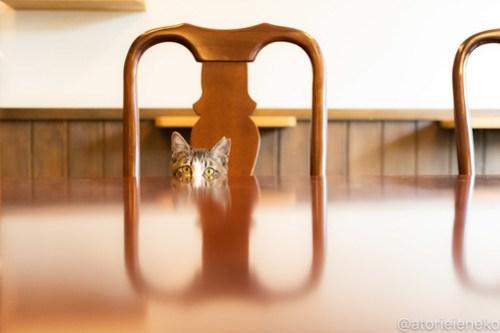 アトリエイエネコ Cat Photographer 39621942740_28eaafa7d5 1日1猫!CaraCatCafe 幸せになるみつこちゃん♪ 1日1猫!  箕面 猫写真 猫カフェ 猫 子猫 大阪 初心者 写真 保護猫カフェ 保護猫 Kitten Cute cat caracatcafe