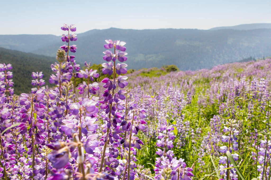 05.28. Lupin Fields at Redwood National Park