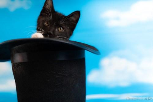 アトリエイエネコ Cat Photographer 42794815622_4a33cc6de5 1日1猫!おおさかねこ俱楽部 里親様募集中のキャッチくん♪ 1日1猫!  里親様募集中 猫写真 猫カフェ 猫 子猫 大阪 初心者 写真 保護猫カフェ 保護猫 ニャンとぴあ スマホ カメラ おおさかねこ倶楽部 Kitten Cute cat