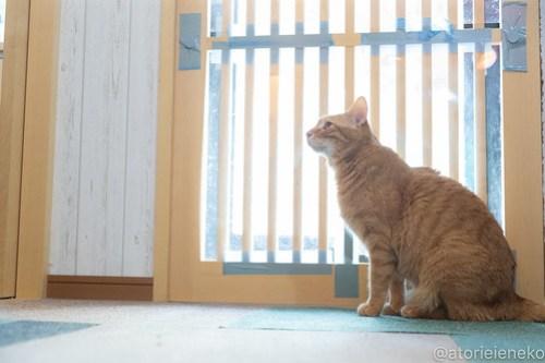 アトリエイエネコ Cat Photographer 40900621304_21b22dc7b5 1日1猫!小さな猫カフェ「ペルちゃん」に行ってきた その2♪ 1日1猫!  里親様募集中 猫写真 猫 子猫 大阪 写真 保護猫カフェ 保護猫 カメラ Kitten Cute cat