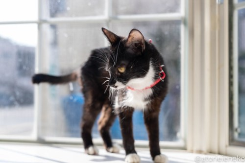 アトリエイエネコ Cat Photographer 27754943028_cdb3a1bfbd 1日1猫!高槻ねこのおうち 里親様募集中のクロコちゃん♪ 1日1猫!  高槻ねこのおうち 里親様募集中 猫写真 猫 子猫 大阪 初心者 写真 保護猫 ハチワレ スマホ カメラ Kitten Cute cat