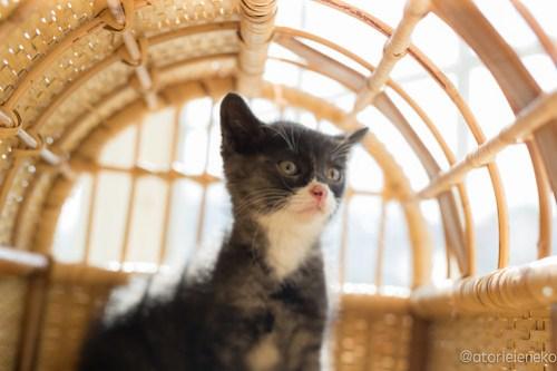 アトリエイエネコ Cat Photographer 42337343722_fc094ee8c6 1日1猫!高槻ねこのおうち まだまだいるよ子猫達! 1日1猫!  高槻ねこのおうち 里親様募集中 猫写真 猫カフェ 猫 子猫 大阪 初心者 写真 保護猫カフェ 保護猫 スマホ キジ猫 カメラ Kitten Cute cat