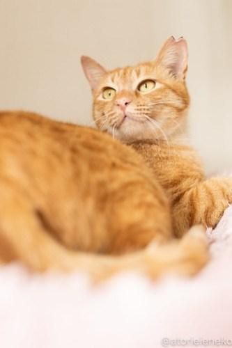 アトリエイエネコ Cat Photographer 26597006527_9028943c2e 1日1猫!保護猫カフェねこんチ こんちゃん! 1日1猫!  猫カフェ 猫 子猫 大阪 写真 保護猫カフェねこんチ 保護猫カフェ 保護猫 スマホ カメラ Kitten Cute cat