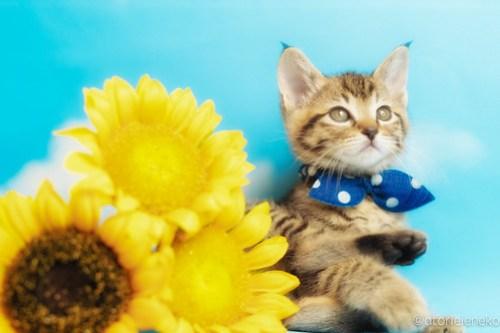 アトリエイエネコ Cat Photographer 40969224565_77a86b06bc 1日1猫!おおさかねこ俱楽部 里親様募集中のハタくん♪ 1日1猫!  里親様募集中 猫写真 猫カフェ 猫 子猫 大阪 初心者 写真 保護猫カフェ 保護猫 ニャンとぴあ キジ猫 おおさかねこ倶楽部 Kitten Cute cat