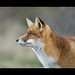 Red fox (vulpes vulpes).