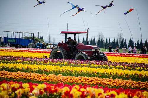 Skagit Valley Tulips-94