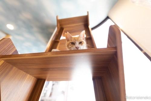アトリエイエネコ Cat Photographer 28165129788_b660086da3 1日1猫!保護猫カフェ 森のねこ舎 (や)に行ってきた♪その1 1日1猫!  里親様募集中 猫写真 猫カフェ 猫 子猫 大阪 写真 保護猫カフェ 保護猫 スマホ カメラ Kitten Cute cat