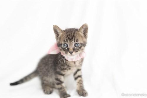 アトリエイエネコ Cat Photographer 27083635177_068d773fbe 1日1猫!高槻ねこのおうち つばさくん♪ 1日1猫!  高槻ねこのおうち 里親様募集中 猫写真 猫 子猫 大阪 写真 保護猫 キジ猫 Kitten Cute cat