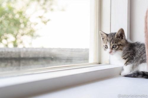 アトリエイエネコ Cat Photographer 27754939218_7fd900f900 1日1猫!高槻ねこのおうち_こちらもキュートな女の子♪ 1日1猫!  高槻ねこのおうち 里親様募集中 猫写真 猫 子猫 大阪 初心者 写真 保護猫 スマホ キジ猫 カメラ Kitten Cute cat
