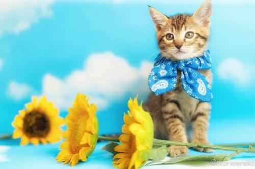 アトリエイエネコ Cat Photographer 41150660854_808b93ca6f 1日1猫!ニャンとぴあキャッツ 里親様募集中のサンマくん♪ 1日1猫!  里親様募集中 猫写真 猫カフェ 猫 子猫 大阪 初心者 写真 保護猫カフェ 保護猫 ニャンとぴあ スマホ キジ猫 カメラ おおさかねこ倶楽部 Kitten Cute cat