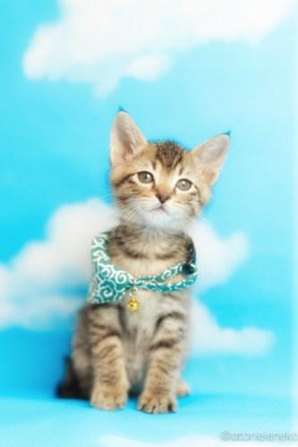 アトリエイエネコ Cat Photographer 41867925841_145b9db335 1日1猫!ニャンとぴあキャッツ 里親様募集中のカツオくん♪ 1日1猫!  里親様募集中 猫写真 猫 子猫 大阪 写真 保護猫カフェ 保護猫 ニャンとぴあ スマホ キジ猫 カメラ おおさかねこ倶楽部 Kitten Cute cat