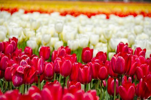 Skagit Valley Tulips-43