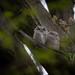 Chroniques d'Angrignon | Jour six de la sortie du nid | Albertine et Bobby en cavale | Petit-ducs maculés juvénilea | Parc Angrignon | Arrondissement Sud-Ouest | Montréal