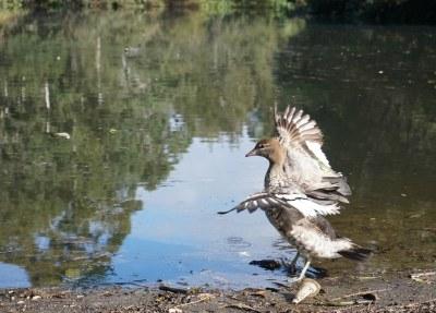 Tip-toeing through the plastic - Australian wood duck Chenonetta jabuta #marineexplorer