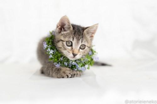 アトリエイエネコ Cat Photographer 29573748278_2140ce0d55 1日1猫!おおさかねこ俱楽部 里親様募集中の華ちゃん♪ 1日1猫!  里親様募集中 猫写真 猫カフェ 猫 子猫 大阪 初心者 写真 ニャンとぴあ キジ猫 カメラ おおさかねこ倶楽部 Kitten Cute cat