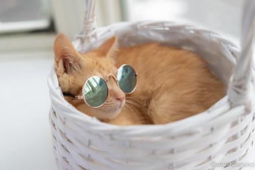 アトリエイエネコ Cat Photographer 28406196687_c2fb1da18c 1日1猫!高槻ねこのおうち 里親様募集中のけんちゃん♪ 1日1猫!  高槻ねこのおうち 里親様募集中 茶トラ 猫写真 猫カフェ 猫 子猫 大阪 初心者 写真 保護猫カフェ 保護猫 カメラ Kitten Cute cat