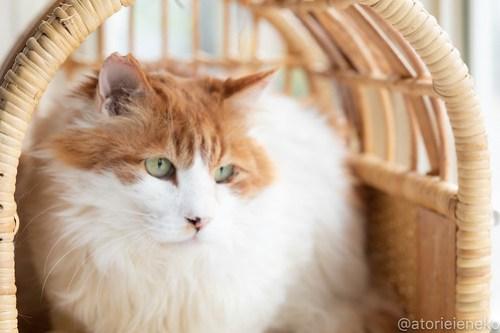 アトリエイエネコ Cat Photographer 26755637067_8fb36e5bf6 1日1猫!高槻ねこのおうち 里親樣募集中のゴージャスフサオくん♪ 1日1猫!  高槻ねこのおうち 里親様募集中 猫写真 猫 子猫 大阪 写真 保護猫 スマホ カメラ Kitten Cute cat