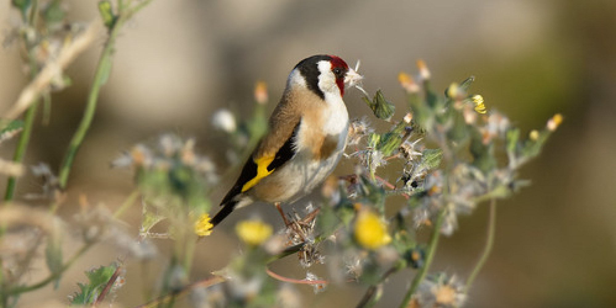 Goldfinch Dundalk