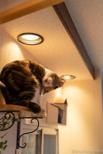 アトリエイエネコ Cat Photographer 39803385700_95b8ce60a3 1日1猫!小さな猫カフェ「ペルちゃん」に行ってきた その1♪ 1日1猫!  里親様募集中 猫写真 猫カフェ 猫 守口市 子猫 大阪 写真 保護猫カフェ 保護猫 ペルちゃん スマホ カメラ Kitten Cute cat