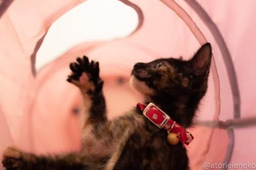 アトリエイエネコ Cat Photographer 42499479005_bdd701494d 1日1猫!CaraCatCafe天使に会いに行って来ました♪ 1日1猫!  里親様募集中 猫 子猫 大阪 初心者 写真 保護猫カフェ 保護猫 スマホ カメラ Kitten Cute cat caracatcafe