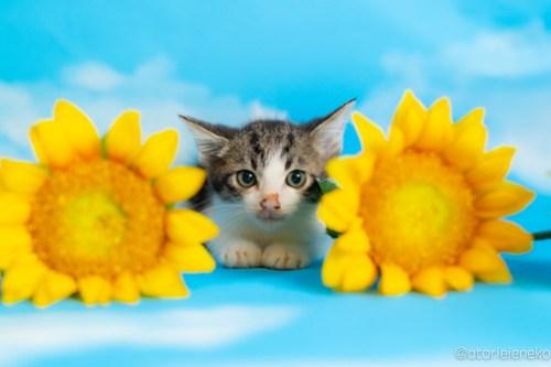 アトリエイエネコ Cat Photographer 29378158488_4760a995b5 1日1猫!おおさかねこ俱楽部 里親様募集中のぺこちゃん♪ 1日1猫!  里親様募集中 猫写真 猫カフェ 猫 子猫 大阪 初心者 写真 保護猫カフェ 保護猫 ニャンとぴあ スマホ カメラ おおさかねこ倶楽部 Kitten Cute cat
