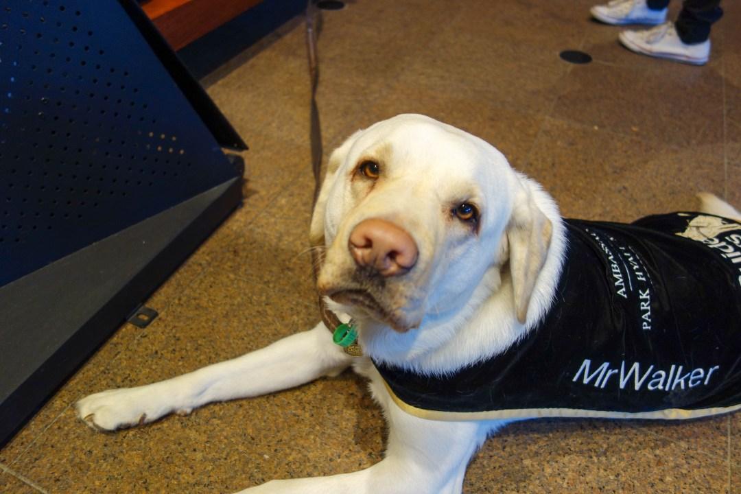 Mr Walker - Park Hyatt Melbourne's canine ambassador