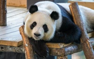 The Giant Panda called Lumi. (Ailuropoda melanoleuca)