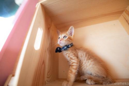 アトリエイエネコ Cat Photographer 43803607772_368b36aff4 1日1猫!おおさかねこ俱楽部 里活中のナオトくんです♪ 1日1猫!  里親様募集中 茶トラ 猫写真 猫カフェ 猫 子猫 大阪 初心者 写真 保護猫カフェ 保護猫 ニャンとぴあ スマホ カメラ おおさかねこ倶楽部 Kitten Cute cat